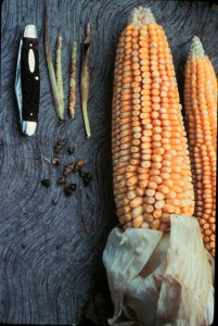 Modern corn with its diminutive ancestor, teosinte.