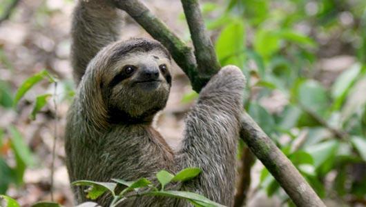 sloth in spanish language