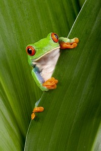 Costa Rican Green Frog
