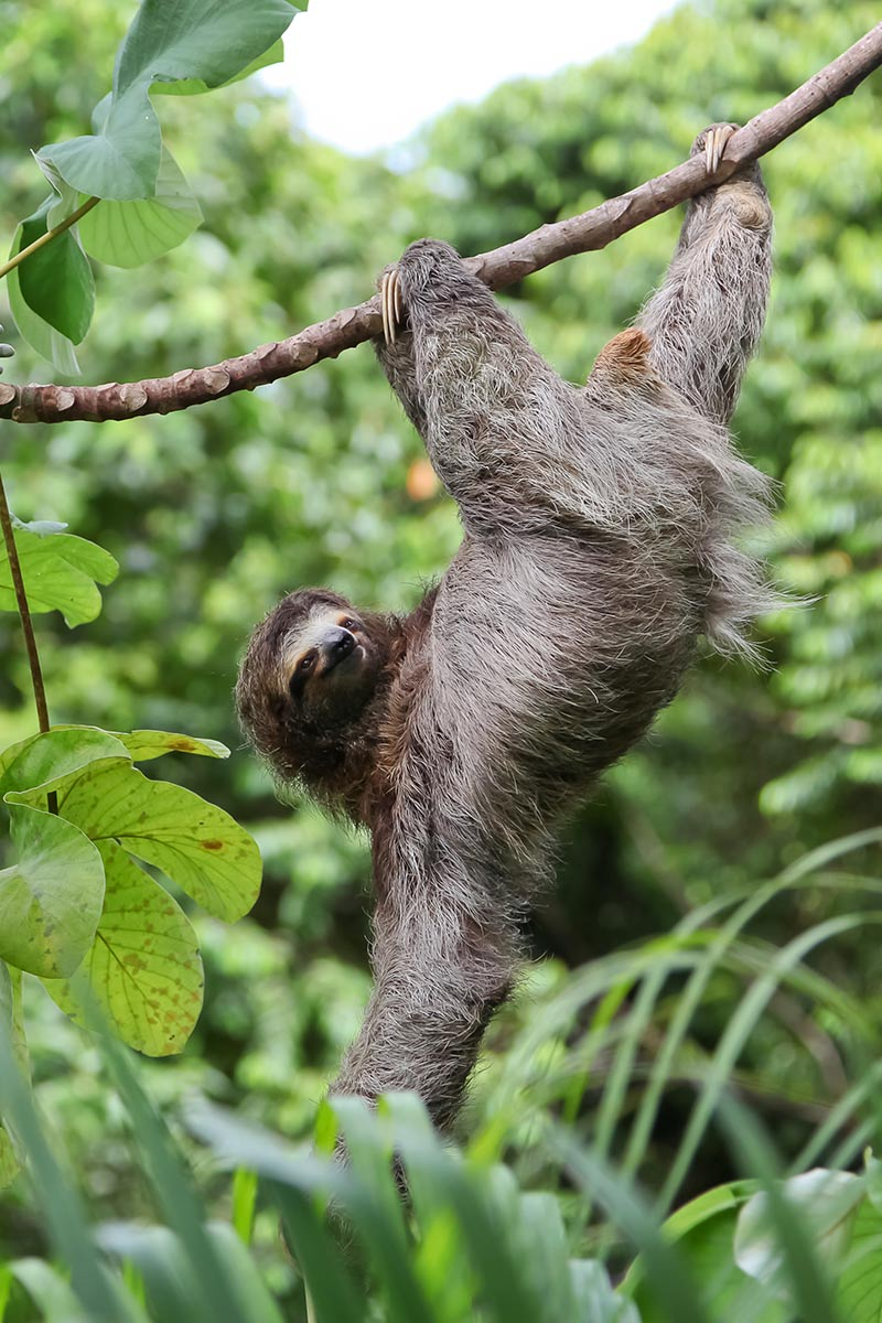 Beautiful sloth from Costa Rica