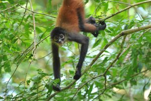 Costa Rica spider monkey hanging from a tree